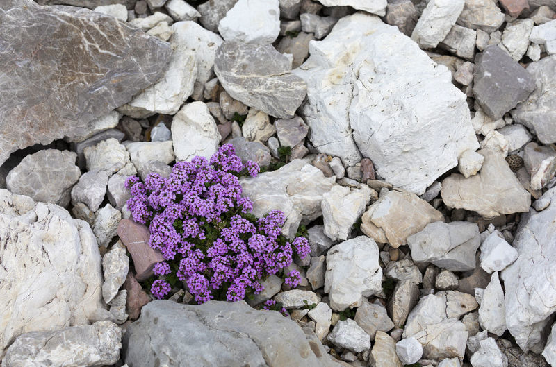 High angle view of purple flowering plants on rocks