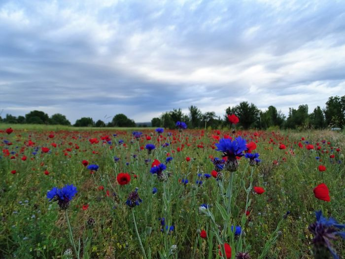 Flower Sky Beauty In Nature Cloud - Sky Field Nature Growth Scenics Tranquil Scene Rural Scene Plant Tranquility Fragility No People Outdoors Landscape Poppy Agriculture Multi Colored Freshness Flowerbed Day Flower Head Tree Close-up