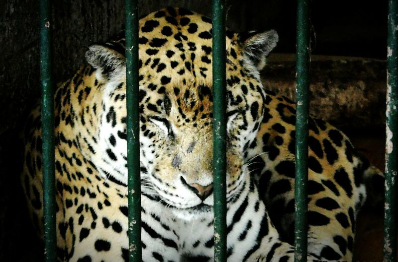 Close-Up Of Leopard In Zoo