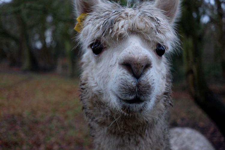 Close-up portrait of llama