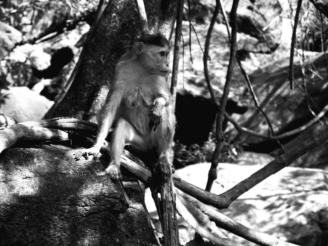 Monochrome Photography Animal Themes Tree Mammal One Animal Animals In The Wild Day Animal Wildlife Nature Branch Outdoors Monkey