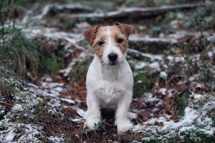 Jack Russell terrier in a Christmas mood. Dog Pets Domestic Animals One Animal Animal Themes Looking At Camera Portrait Mammal No People Day Outdoors Winter Jack Russell First Snow Firstsnow Jack Russell Terrier Jackrussellterrier Looking At Camera Snow Cold Temperature