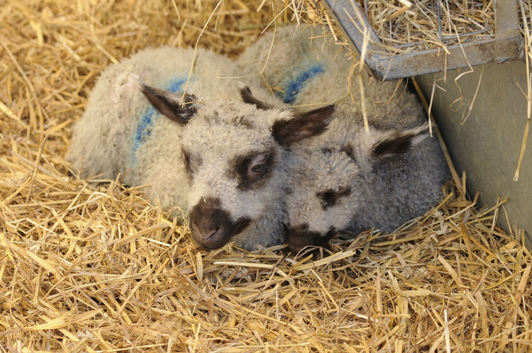 New born lambs Animal Themes Early Spring 2016 Farming Hay Lambing Lambing Season Lambs Livestock Outdoors Two Animals Young Animal