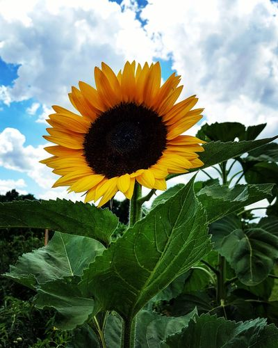 Flower Growth Sky Nature Freshness Sunflower Petal Beauty In Nature Plant Cloud - Sky Fragility Low Angle View Outdoors Flower Head Day Leaf No People Green Color Blooming Close-up