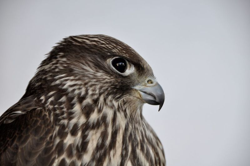Close-up of falcon against white background