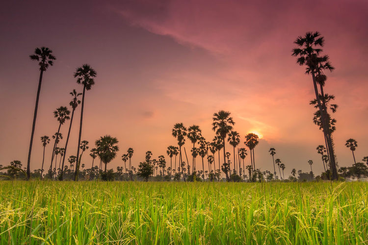 Beautiful sunrise with sugar palm trees and rice field in fresh and romantic morning Bangkok Beautiful Coconut Colors Farm Green Color Light Morning Nature Nature Photography Pink Sky Rice Sugar - Food Sunset_collection Thailand Travel Amazing Amazingthailand Beauty In Nature Farm Rice Farm Sugar Palm Light And Shadow Shadow Sugar Palm Sunset First Eyeem Photo