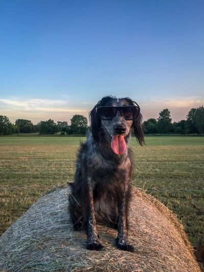 Happy dog Outdoors Cute Pets Cute Happiness Happy Lifestyle Sunglasses Summertime Summer Dog Canine One Animal Pets Domestic Domestic Animals Mammal Animal Animal Themes Sky Vertebrate Sticking Out Tongue Nature No People Facial Expression Sunlight Sitting Day