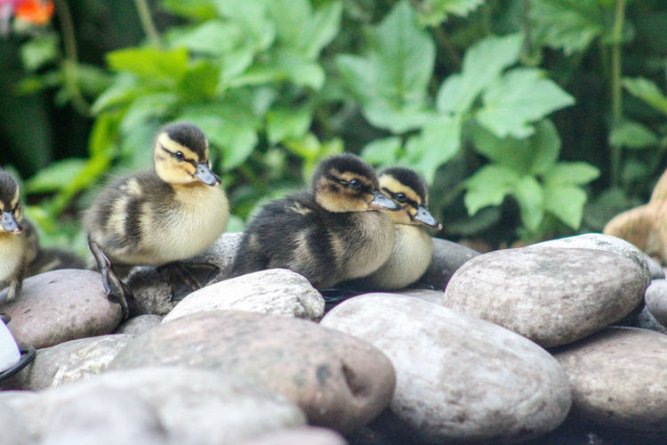 Close-up of ducks on rock