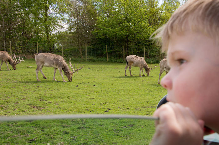 Animal Themes Animal Wildlife Animals Animals In Captivity Boy Day Deer Field Grass Grazing Green Mammal One Person Outdoors Real People Reindeer Safari Selective Focus Tree Zoo