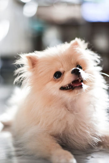 Light brown Pomeranian puppy smiling in marble floor room in bokeh background Pets Mammal Domestic Dog Canine Animal One Animal Animal Themes Domestic Animals Looking Away Looking Pomeranian Vertebrate Focus On Foreground Cute No People Indoors  Portrait Animal Hair Animal Body Part Small Animal Head  Pomeranian Puppy Doggy Adorable Happy Bokeh Light And Shadow Brown Fluffy Blurred Background Smile Enjoying Life