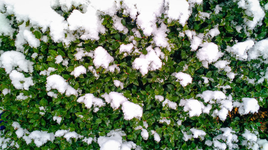 Snow Covered Holly Bush for Holiday Background Seasonal Flora Xmas Green Color Green Background Texture Backdrop Wallpaper Banner Holly Christmastime Wintertime Winter Snow Covered Holiday Winter Cold Temperature Field Close-up Plant Cold Greenery Vegetation