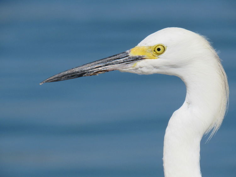 Snowy Egret Blue Sky Blurry Background Close-up Feathers Head And Nec Long Beak Selective Focus Yellow Eye
