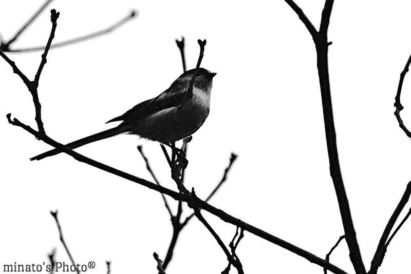 やっとまともな鳥photが撮れました(^^;; EyeEm Best Shots Eyemphotography EyeEm Black & White Monochromatic モノクロ 国営昭和記念公園 Eyebird 東京 エナガ