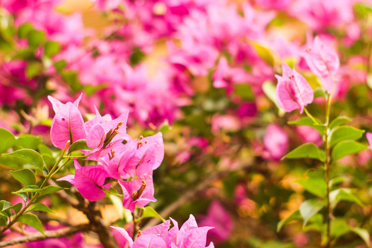 Close-Up Of Pink Bougainvillea Flowers