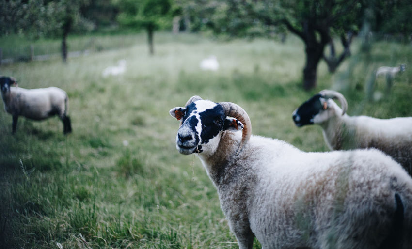 Country Free Grazing Animal Animal Themes Countryside Day Domestic Domestic Animals Field Grass Group Of Animals Herbivorous Land Landscape Livestock Mammal Nature No People Outdoors Pets Plant Sheep Sheeps Vertebrate