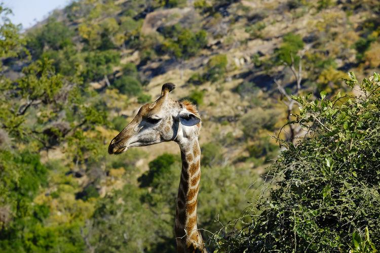 View of a giraffe'giraffe's head and neck