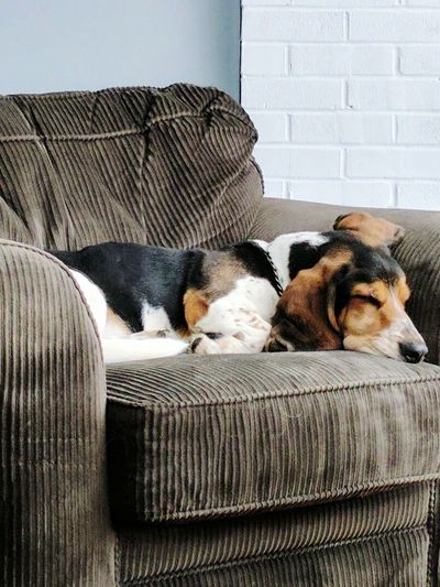 EyeEm Selects Dog Sofa Relaxation Puppy Dogsofinstagram Bassethound Thoseears Dogs Of EyeEm Purebred Puppy Love ❤ StanTheMan Naptime