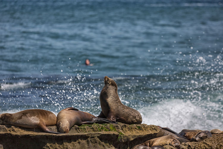 A group of  sea lions sunning themselves on the rocks at la jolla cove in la jolla, california, usa