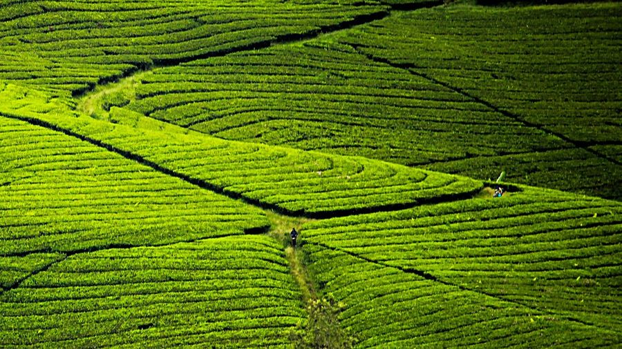 Kehidupan di Antara Keindahan Bandung INDONESIA Geonusantara Landscape Green Color Growth Landscape Rural Scene Land Crop  EyeEmNewHere Plant Agriculture Environment Field Beauty In Nature Scenics - Nature Plantation Tea Crop Nature Farm High Angle View Tranquility Foliage Day