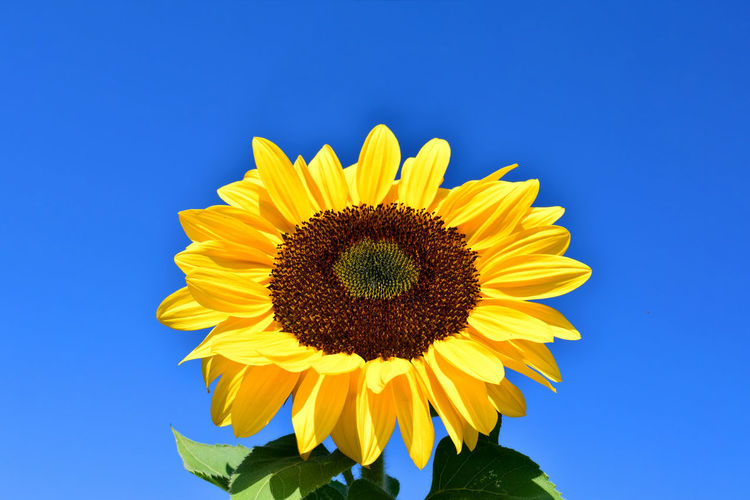 Big Sunflower