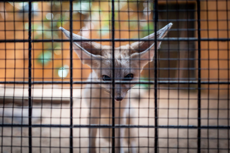 Langkawi Animal Themes Mammal Animal One Animal Animals In Captivity Focus On Foreground Cage No People Looking At Camera Portrait Domestic Animals Vertebrate Pets Close-up Day Domestic Fence Cat Barrier Domestic Cat Animal Head  Fox