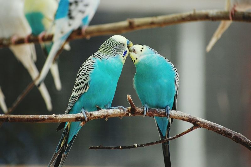 Low angle view of blue parakeets kissing on tree