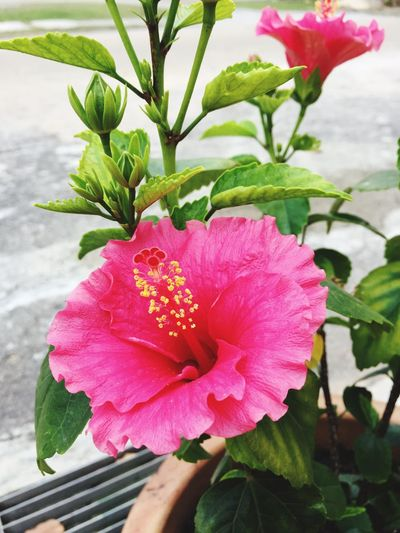 Flower Beauty In Nature Nature Petal Fragility Leaf Growth Freshness Plant Pink Color Flower Head Outdoors Day Close-up No People Blooming Hibiscus