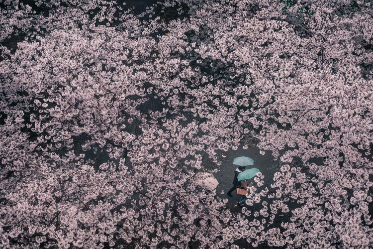 Umbrella Rain Colors Pink Sakura Real People High Angle View One Person Lifestyles Unrecognizable Person Day Nature Outdoors Leisure Activity