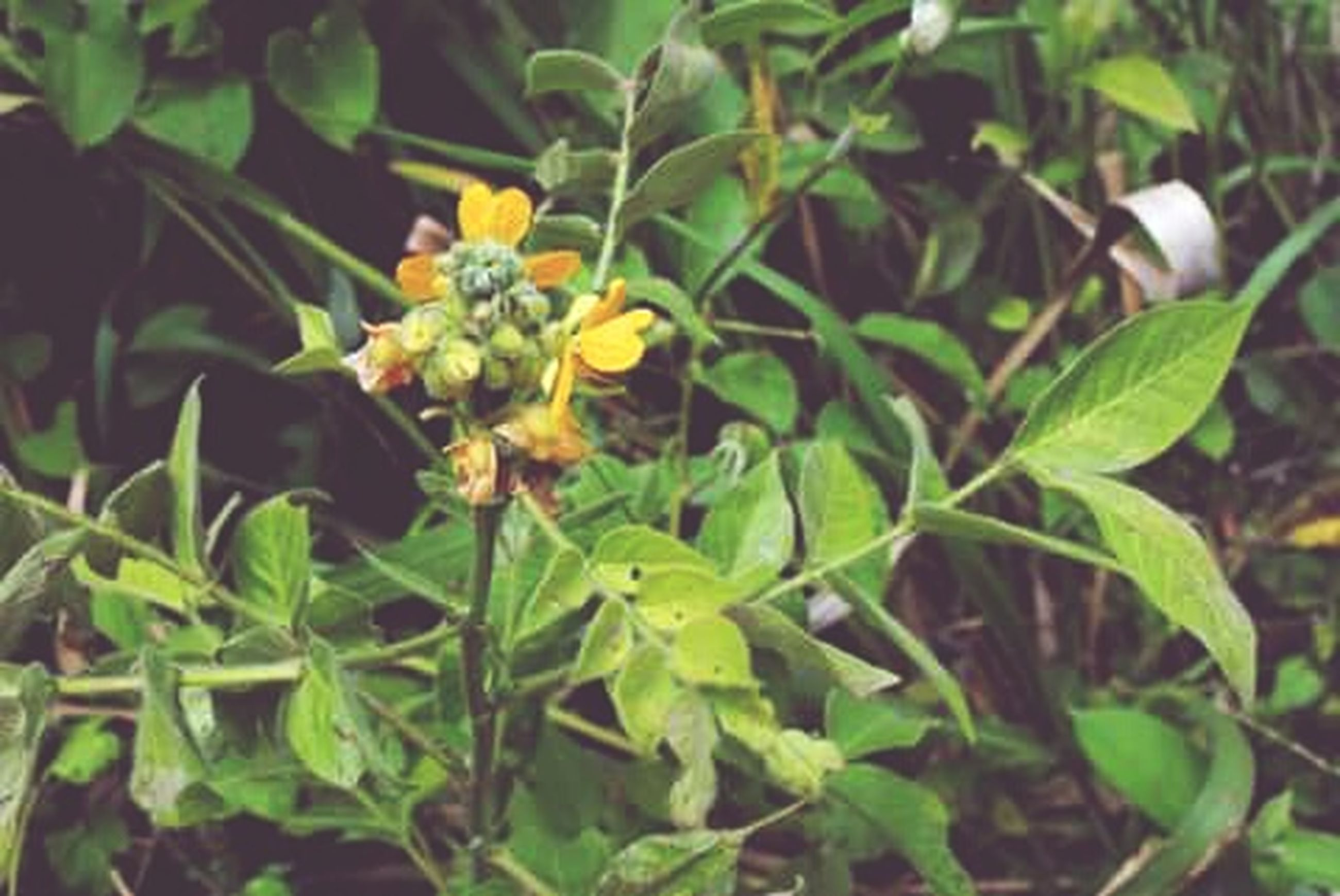 growth, freshness, leaf, flower, plant, green color, nature, yellow, beauty in nature, close-up, growing, fragility, focus on foreground, bud, day, fruit, no people, outdoors, sunlight, stem