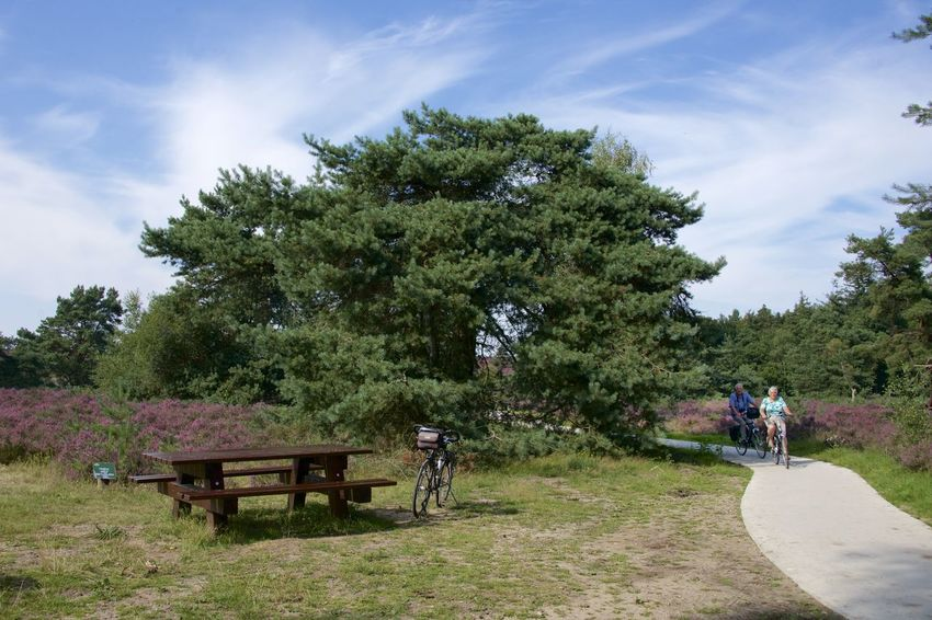 Dutch Cycle Route (Renderklippen fietsroute) in Epe, Gelderland. Cyclist Gelderland Netherlands Renderklippen The Netherlands Tree Veluwe Beauty In Nature Bicycle Cycling Heather Holland Scenics