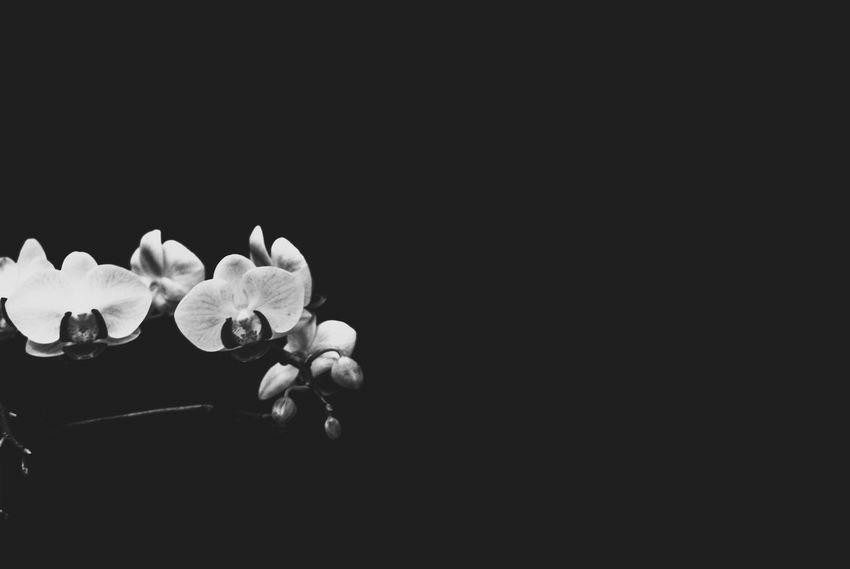 Evanscsmith Photography Photographerinlasvegas Flower Head Black Background Flower Studio Shot Petal Orchid Copy Space Close-up Plant Life Softness