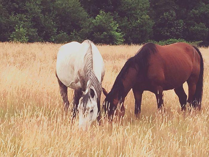 Beautiful Horses Graze Summer