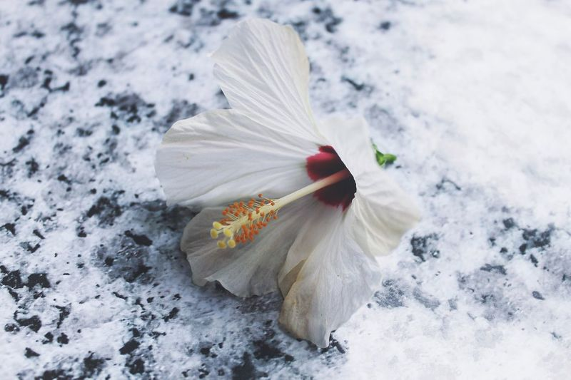 Close-Up Of White Hibiscus
