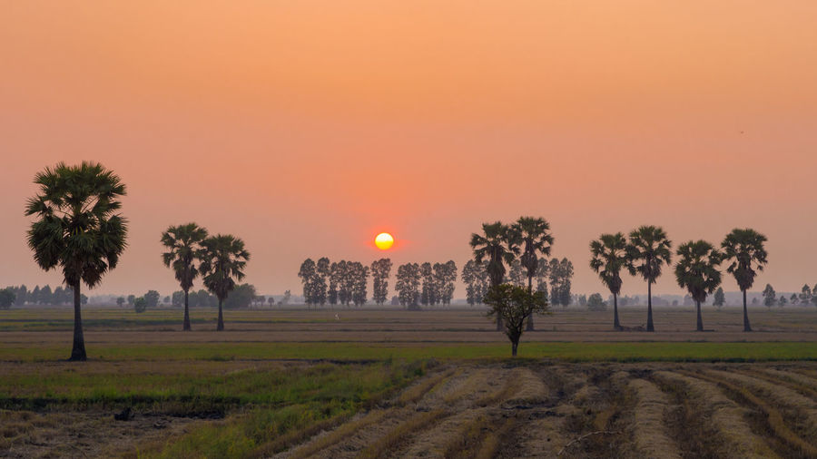 Sugar palm tree in rice field and sunset Agriculture Beauty In Nature Environment Field Growth Land Landscape Nature No People Orange Color Outdoors Palm Tree Plant Rice Field Rural Scene Scenics - Nature Sky Sugar Palm Sun Sunset Tranquil Scene Tranquility Tree