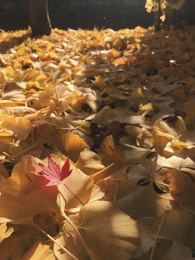 Autumn Leaf Beauty In Nature Nature Photoshoot Light And Shadow EyeEm EyeEm Best Shots Low Angle View 東京カメラ部 Japan 日本 Beautiful EyeEmBestPics Gold Colored Tree Silhouette Beauty In Nature 紅葉 Autumn Nature Nature_collection