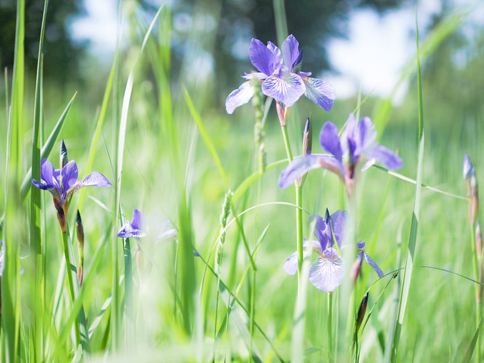 Iris - Plant Grass And Flowers Flower Multi Colored Purple Close-up Wildflower EyeEmNewHere