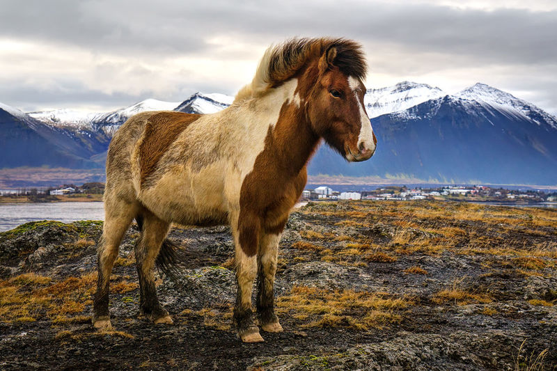 Ice Age iceland horse. Animal Themes One Animal Full Length Domestic Animals Mammal Cold Temperature Mountain Standing Cloud - Sky Zoology Snowcapped Mountain Tranquil Scene Non-urban Scene Nature Livestock Water Sky Herbivorous Day Tranquility