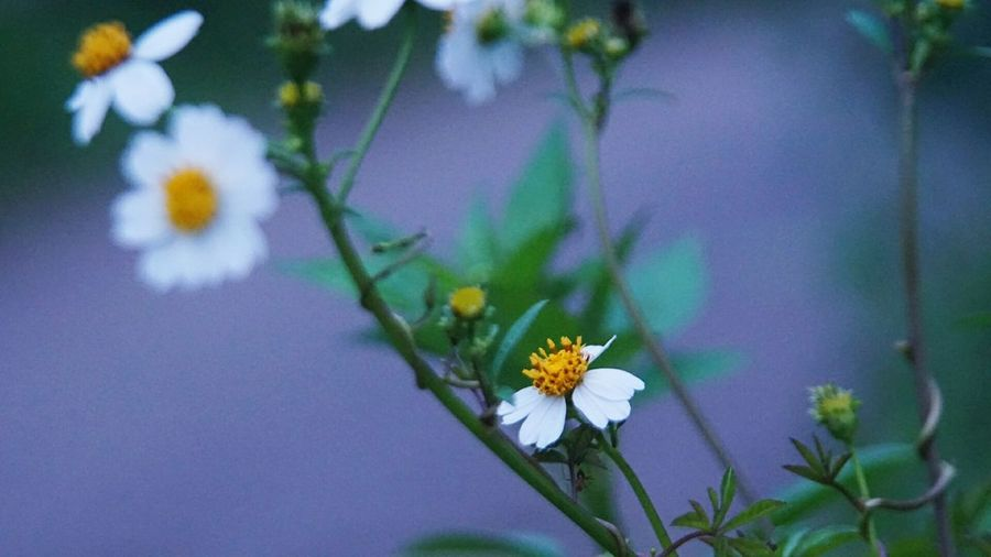 Flower Nature Beauty In Nature Freshness Plant Growth Close-up Outdoors Day No People Sony Ilce 5000
