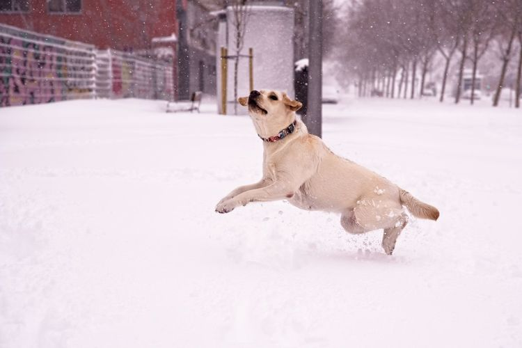 Dog running on snow covered street