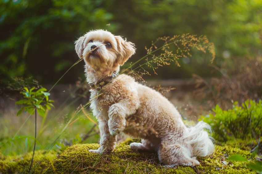 Kippie is multitasking, fighting a mosquito and sniffing :) Colour Of Life Hanging Out Traveling Summer Sunset Nature Beautiful Dog Havanese Puppy Animal Landscape Portrait Pets Cute Enjoying Life Forest Sweden Check This Out Bokeh Photography Fujifilm Xt1 Helios 44-2 Girl