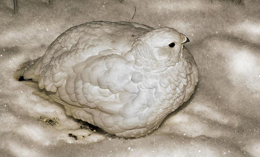 Птицы,куропатка,снег,природа