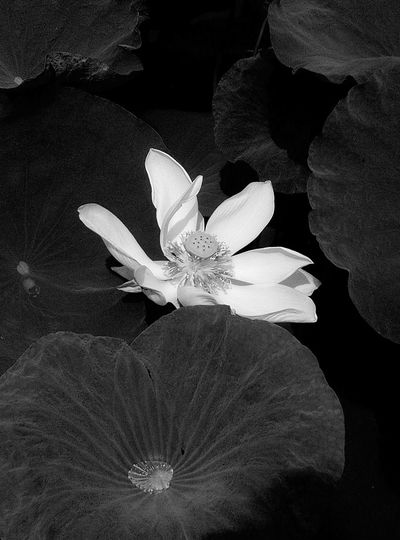 Lotus Water Lily Beauty In Nature Lotus Flower Flowers 🌸🌸🌸 Lotus♥ Background BLCK&WHT Black And White Black And White Photography At Bangkok Thailand Asian
