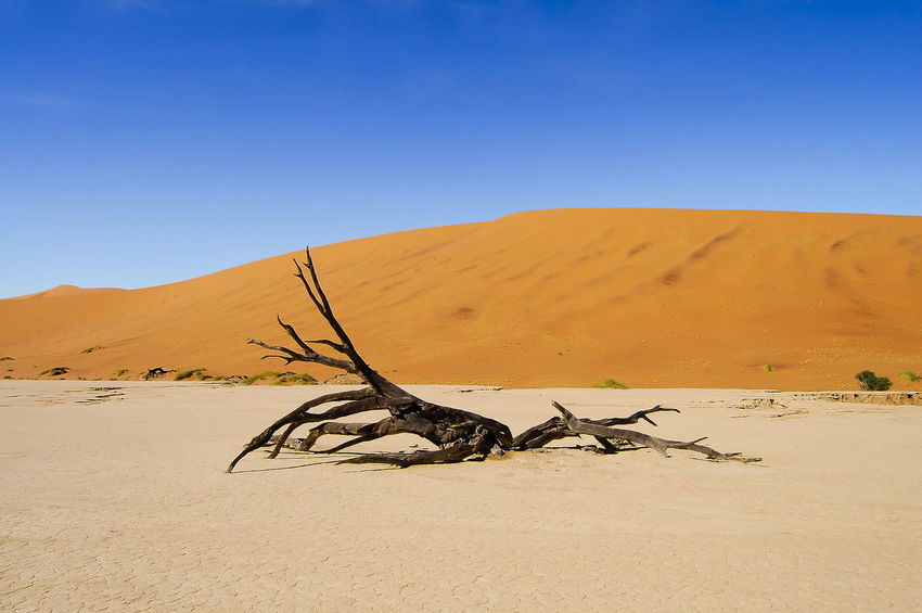 Deadvlei Acacia Tree - Sossusvlei - Namibia Acacia Tree Dead Tree Deadvlei Namibia Sossusvlei Arid Climate Desert Landscape Sand Sand Dune