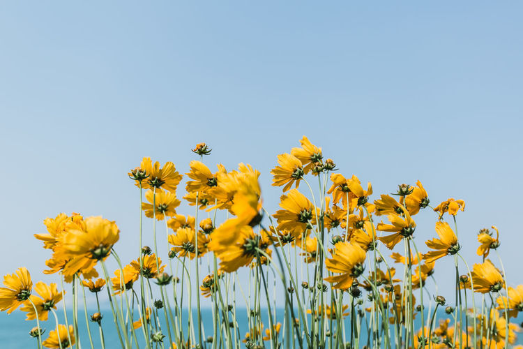 Low Angle View Of Yellow Flowers Blooming On Field Against Clear Sky