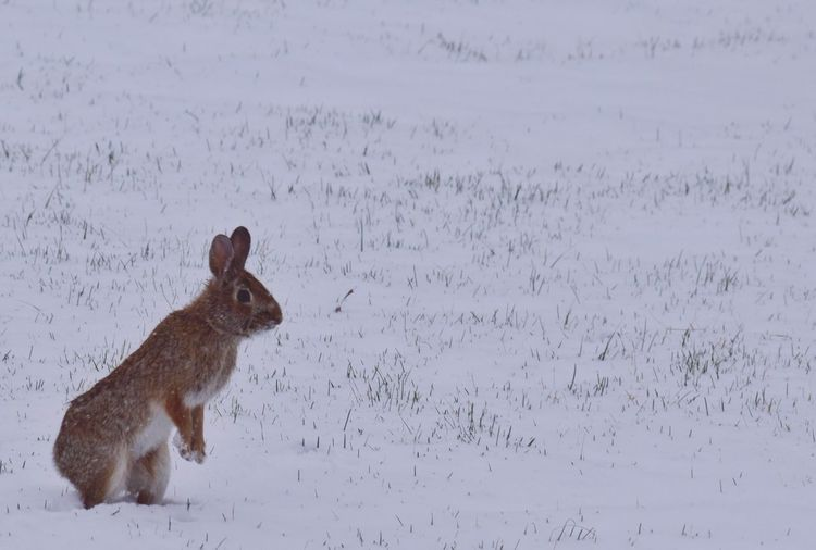 Rabbit standing on snowy field during winter