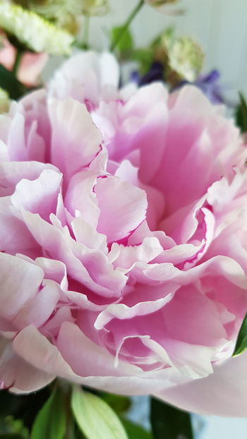 Flower Flower Head Flower Collection Flowerporn Flower Photography Peony  Pastel Colored Blossom Plant