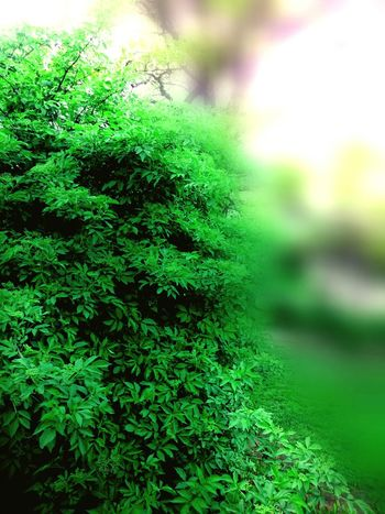 Green Bush GREEN IS GOOD EyeEm Nature Lover Nature_collection Nature Nature Photography Natureporn