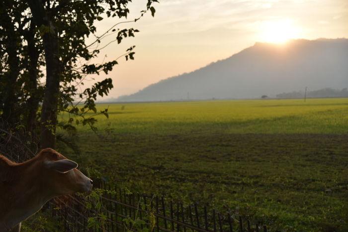 enjoying sunset Cows Sunset Mustard Plant Mustard Fields Assam, India India
