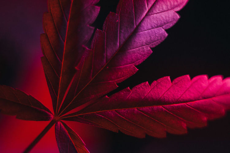 Close-up of red maple leaves against black background