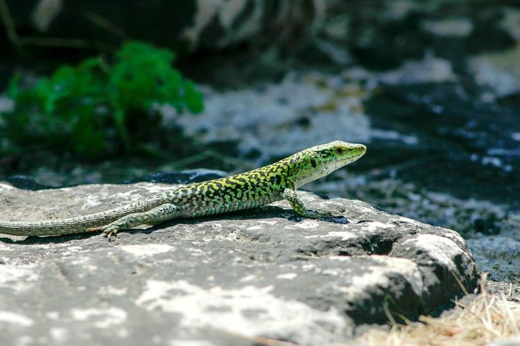 Sicilian Wall Lizard Reptile Lizard No People One Animal Side View Nature Animals In The Wild Close-up Outdoors Animal Wildlife Sicilian Wall Lizard Podarcis Waglerianus Rock - Object Sicily Italy Green Color Animal Themes Pattern Spotted